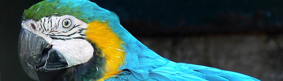Blauer Ara